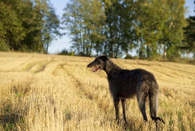Koiran Omistaminen