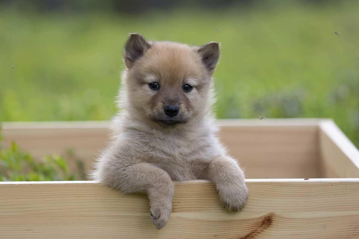 Koirien Lisaantyminen Suomen Kennelliitto